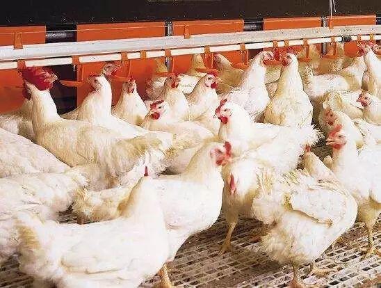 3月25日,CFT鸡评论称,鸡蛋和淘鸡价格持续上涨,肉鸡价格大幅波动,鸡肉价格持续下跌