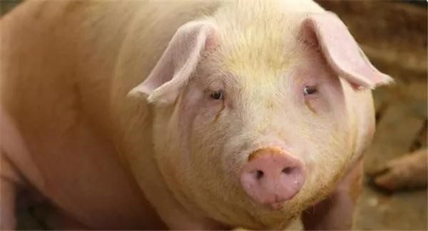 早春猪场多种疾病防控的思考