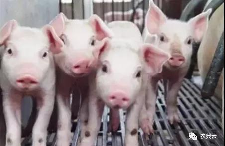 在饲养过程中应注意这些方面,以提高保护猪的成活率
