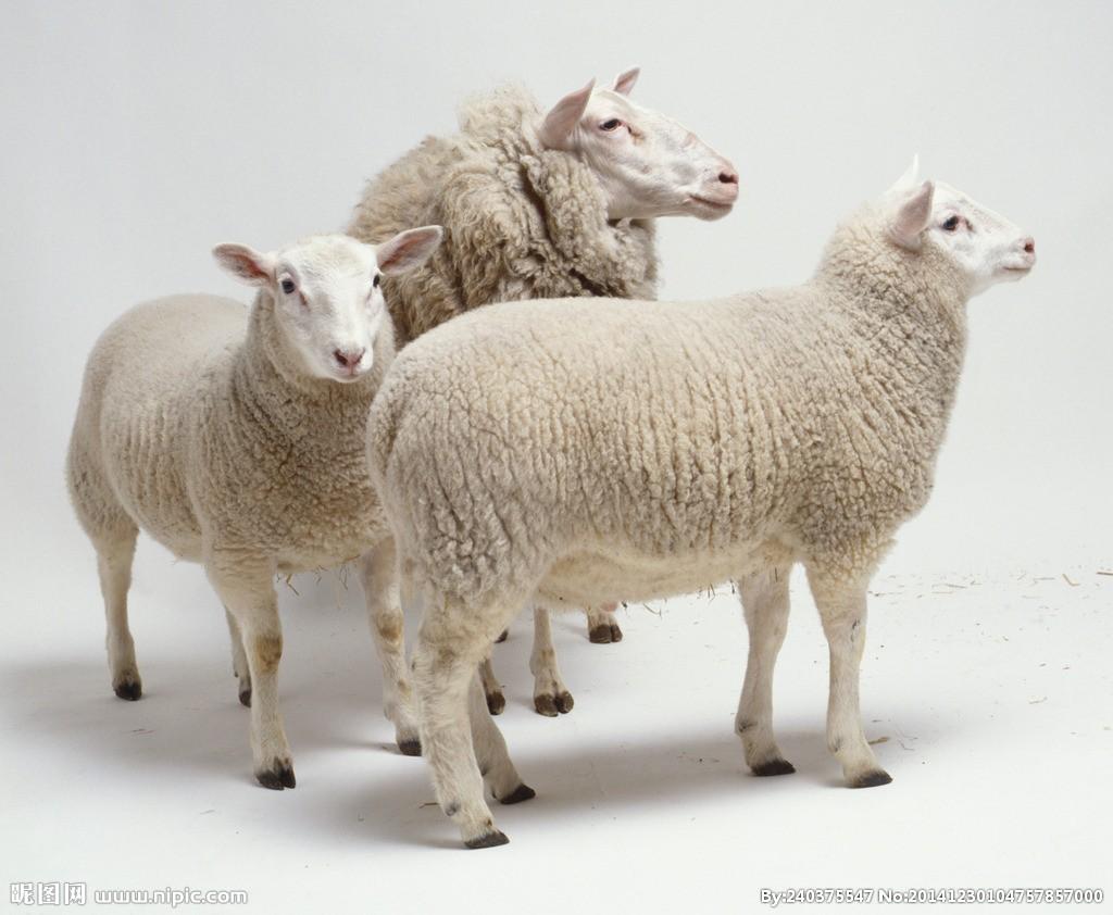 如何帮助瘦羊增重?如何管理喂养?