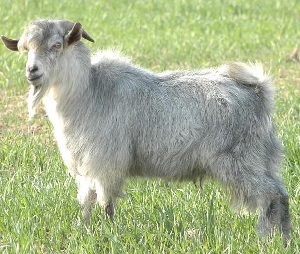 养绿山羊挣钱吗?养绿山羊的利润和成本分析?