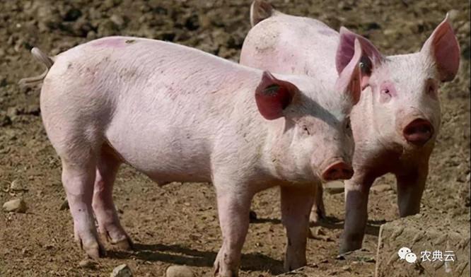 养猪场得了猪瘟。应该如何快速控制疫情?