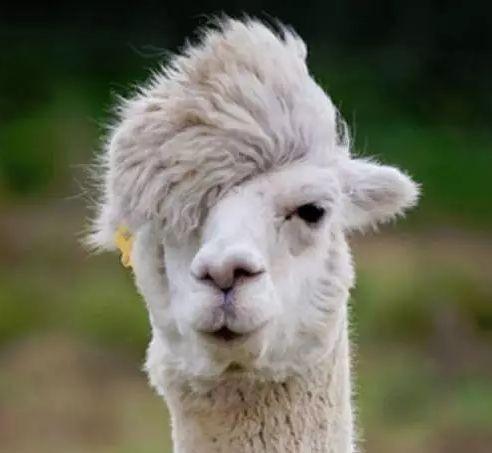 羊驼养殖前景如何?养羊驼有哪些注意事项?
