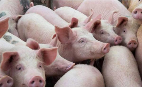 生猪屠宰暴涨,猪肉价格连续七周下跌!饲料价格也不会起作用