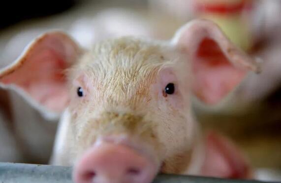 超级猪周期预警应把握两个关键点