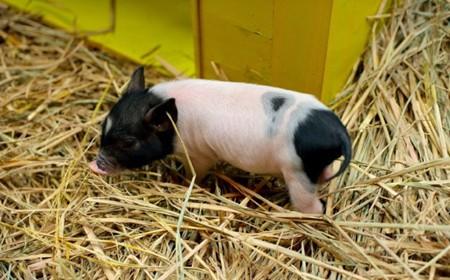 南北生猪价格涨跌互现,终端市场依然不强