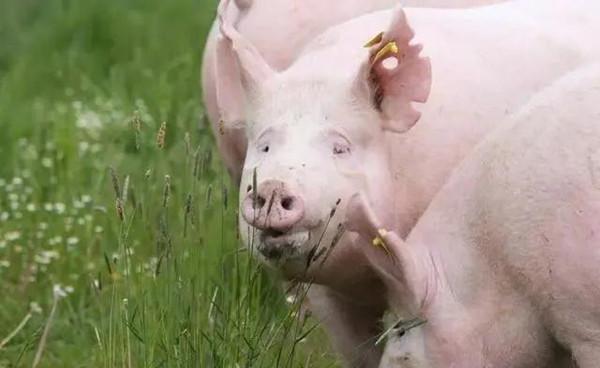 夏天来了,猪场热应激的信号有哪些?
