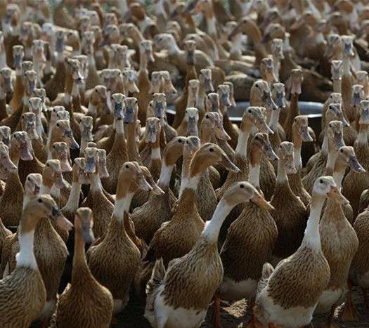 蛋鸭的养殖技术有哪些?如何管理蛋鸭?
