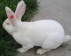 养殖兔子如何选择?兔子能繁殖几年?
