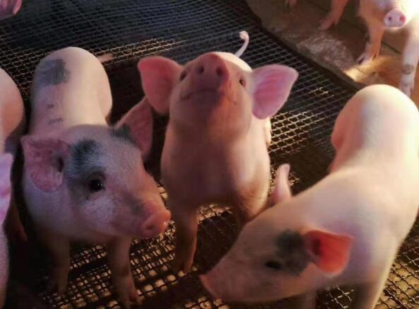 从4月1日起,除中南地区外的猪将被禁止进入广西