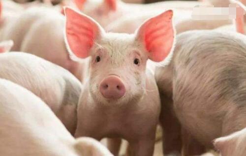 农林牧渔业:母猪存栏量缓慢上升,无疫苗进入诊所