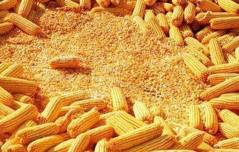 """玉米市场的转折点即将到来,进入""""绿黄""""时期"""