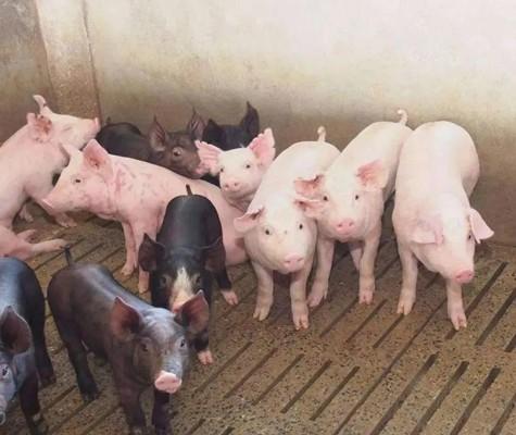 猪病春季高发,这三种病要认真预防!
