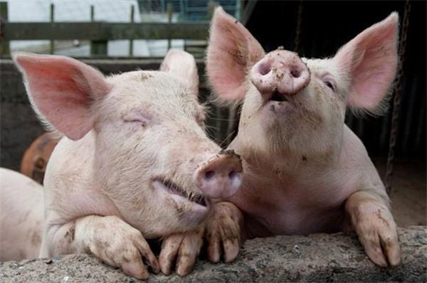 """3月23日:生猪市场""""南跌北涨"""",北方生猪价格持续上涨,还能涨吗?"""