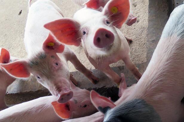 江苏南通规范生猪运输,监管生猪运输,实行定点出入境