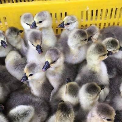 鹅苗什么时候养?多久能下蛋?