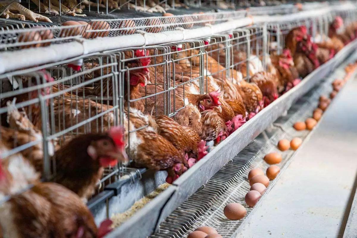 年后蛋鸡成本在3.7元/kg左右,养殖端成本压力比较大