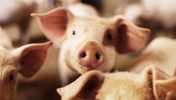"""生猪企业遭遇""""杀猪盘""""。专家:再过两三年,猪的存栏量将达到7-8亿,猪的周期将见底?"""