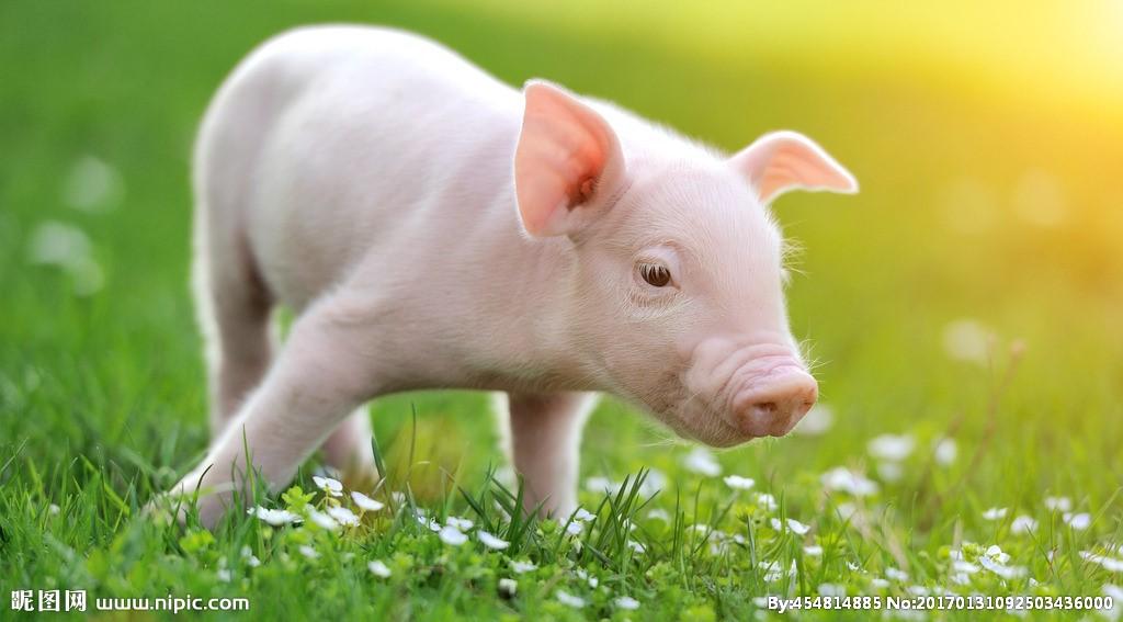 暴跌30%!猪价撑不住吗?分析师:未来会跌!