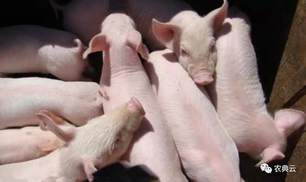 你知道断奶后引起仔猪腹泻的一些常见疾病吗?