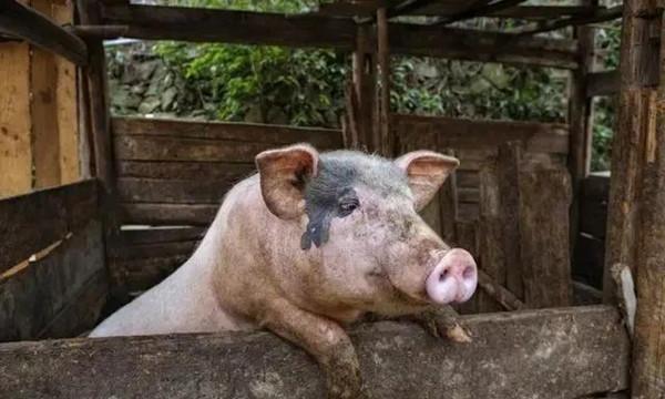 母猪配种繁琐?照这样,你就赢了一次!