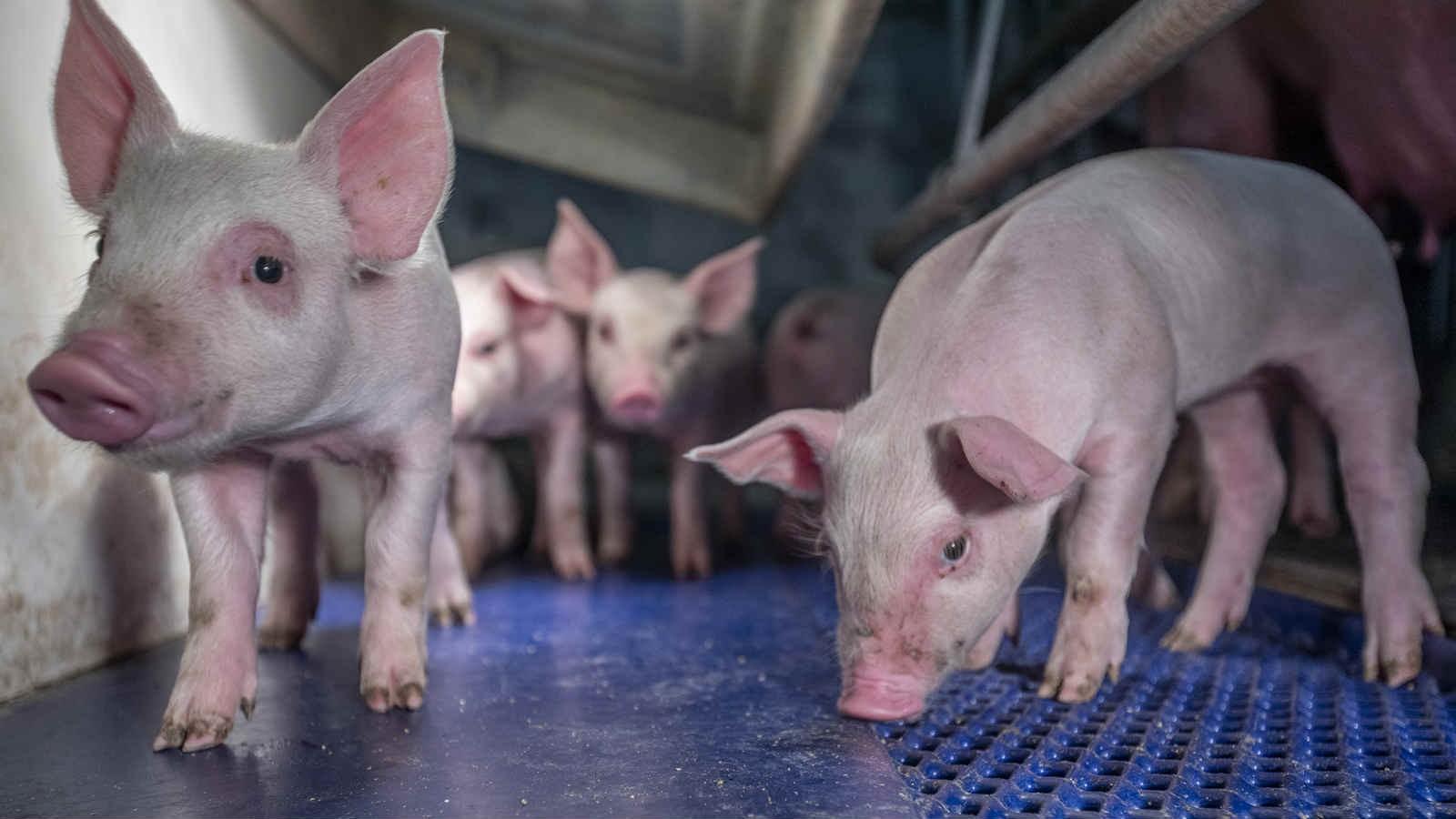 猪圈消毒杀菌什么好?病猪舍的消毒方法!