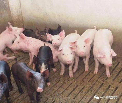 【经验贴】养猪场治咳喘不难!鉴别诊断是关键