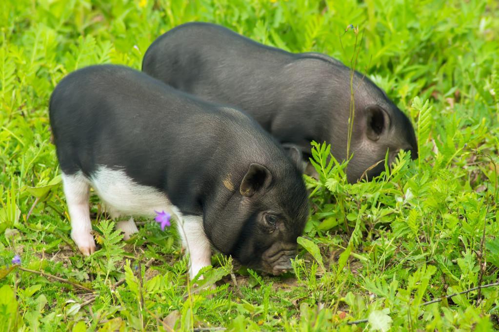 """如果屠宰企业拒绝接受化肥,减少生猪采集量,""""五一""""消费会提高生猪价格吗?"""