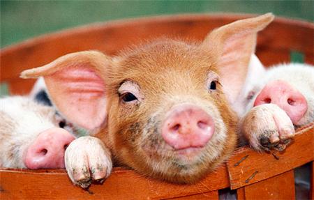 存量1650万,屠宰3000万。江西如何实现养猪优势?