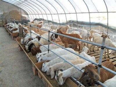 100羊棚设计图怎么建?给100只羊盖房子要多少钱?