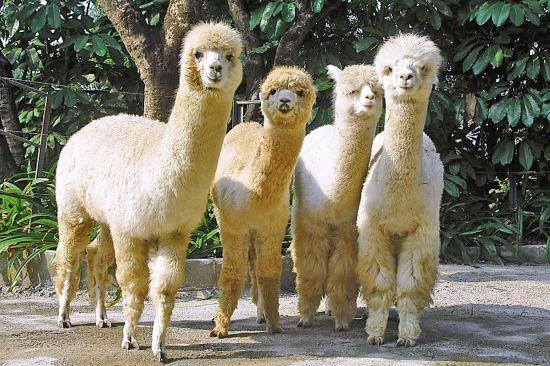 兽羊驼的价值,养殖羊驼的注意事项