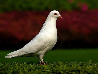 养鸽人要注意:彩灯对鸽子养殖影响很大