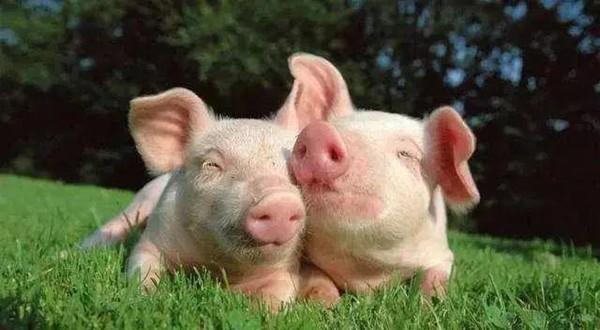 这四种猪病至少有一种是夏天发生的!