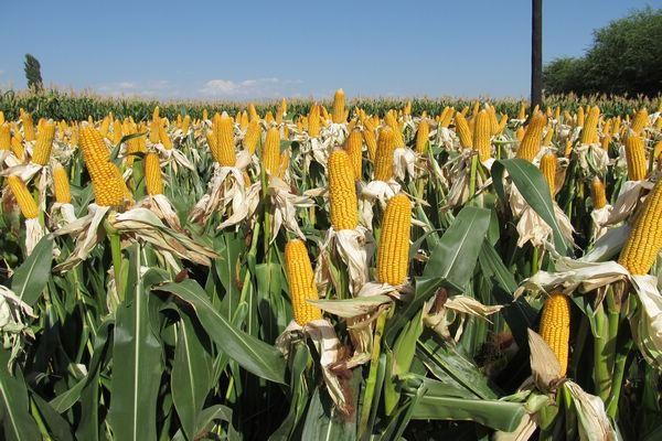 警惕玉米价格频繁波动影响产业链