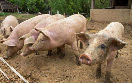 中国已有11123个大型养猪场投入生产。生猪市场容量有多大?