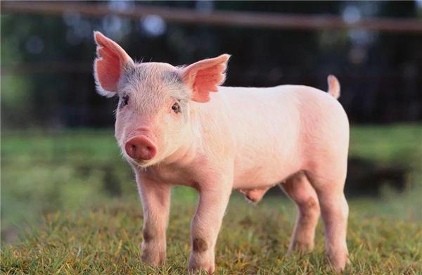 25家养猪企业赶上了这一轮养猪周期的高峰,并延伸到屠宰领域
