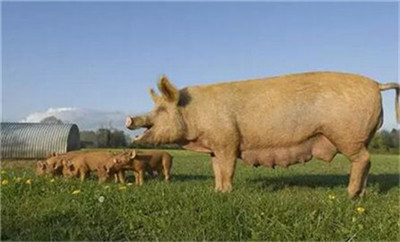 商务部:上周猪肉批发价跌3%,每公斤42.35元!