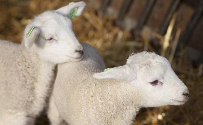 羔羊繁育五记