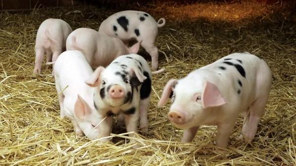 灭鼠——春季养猪场的一项重要行动