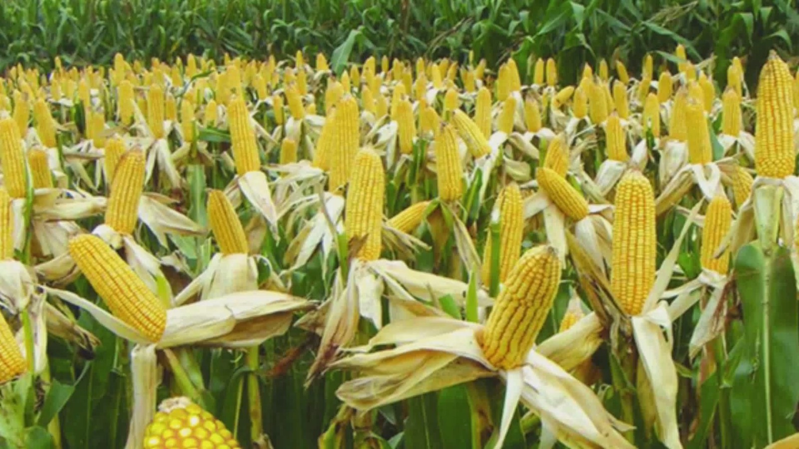 玉米面积扩大了2000多万亩,生产和需求之间的差距缩小了