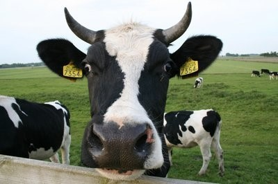 奶牛风湿病的症状、原因及预防措施