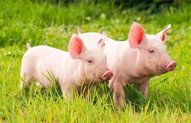 实施新一轮国家猪遗传改良计划,确保畜禽核心种源自主可控