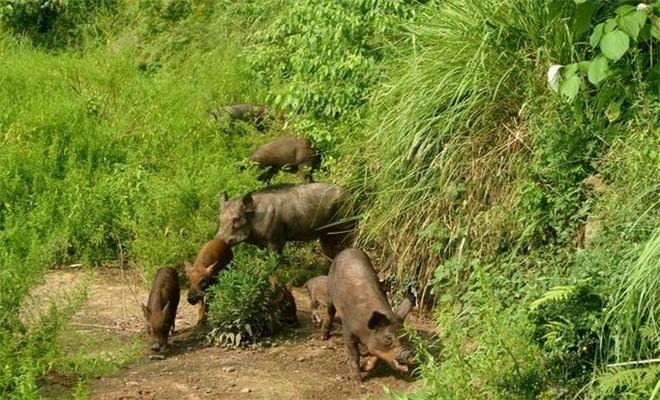 雌性野猪的产前准备