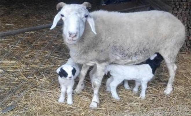 母羊产羔前后如何喂奶