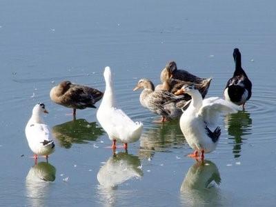 鸭闷棚怎么做,鸭闷棚的原因及解决方法!
