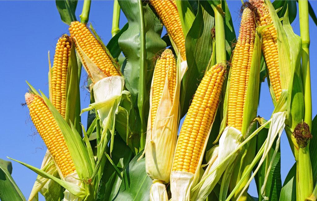 玉米涨的厉害!
