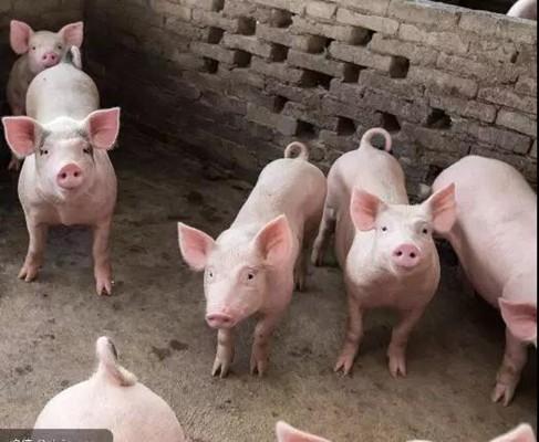 快看,猪身上出现红斑的三个原因及对策
