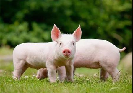 香港生猪价格飙升1.5倍,供港活猪数量下降60%。人们强烈要求政府增加生猪供应!