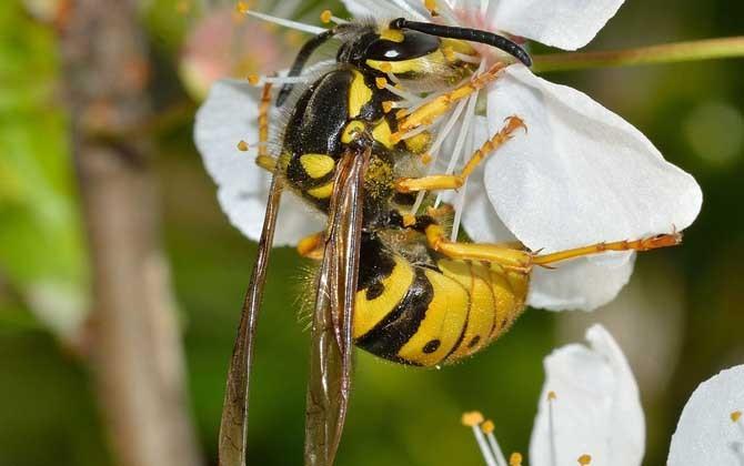 养殖黄蜂的利润和成本?黄蜂育种前景分析