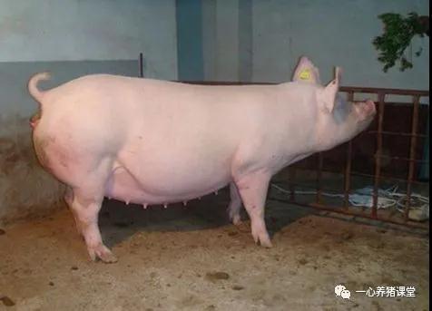 【技术贴】快速判断母猪发情交配的表现!